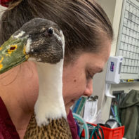 Veterinary technician holding the duck