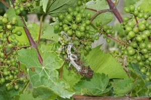 Diseased grapes (white on grapes and stem)