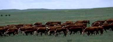 improving beef heifer reproduction via synchronization and