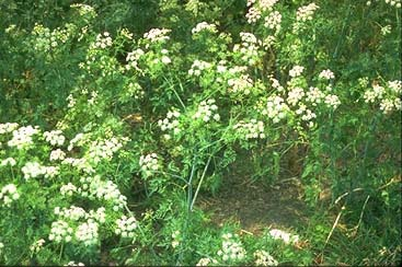 Selected poisonous plants of the pacific northwest animal poison hemlock note leaves and white flower heads similar to carrots water hemlock and parsnips photo courtesy cornell university mightylinksfo