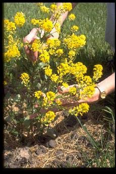 Selected poisonous plants of the pacific northwest animal mustard note basal leaf cluster and alternate leaves on stem pungent odor usually yellow flowers photo courtesy purdue university mightylinksfo