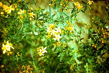 Selected poisonous plants of the pacific northwest animal st johnswort note five petaled yellow flowers black dots on leaves appear translucent or yellow when held to light photo courtesy cornell university mightylinksfo