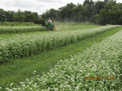 A farmer has learned to utilize buckwheat as a cover crop