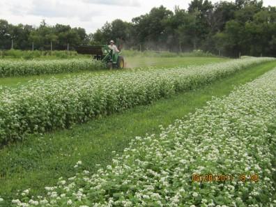 Buckwheat-cover-crop