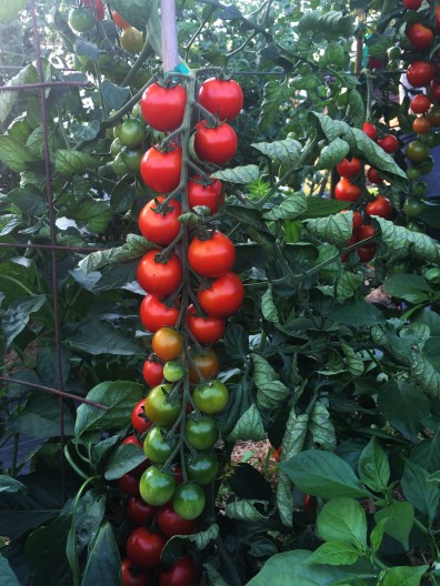 cherry tomato in maritime NW garden