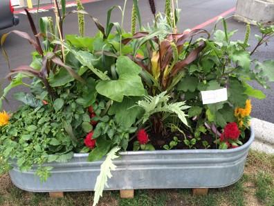food garden in horse trough