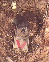 Vole in Trap