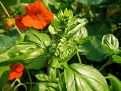 basil flower bud