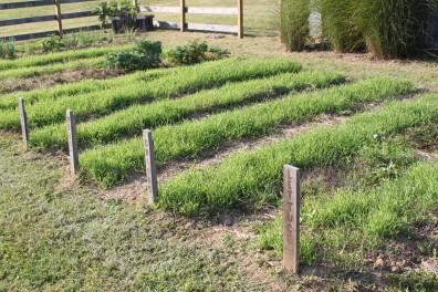 cover crops in garden