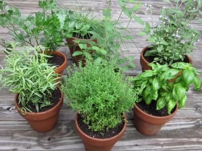 herb garden in pots