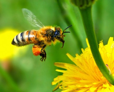 honey bee hovering above yellow flower