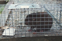 Mountain Beaver in Cage Trap