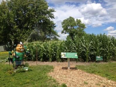 sweet v dent corn