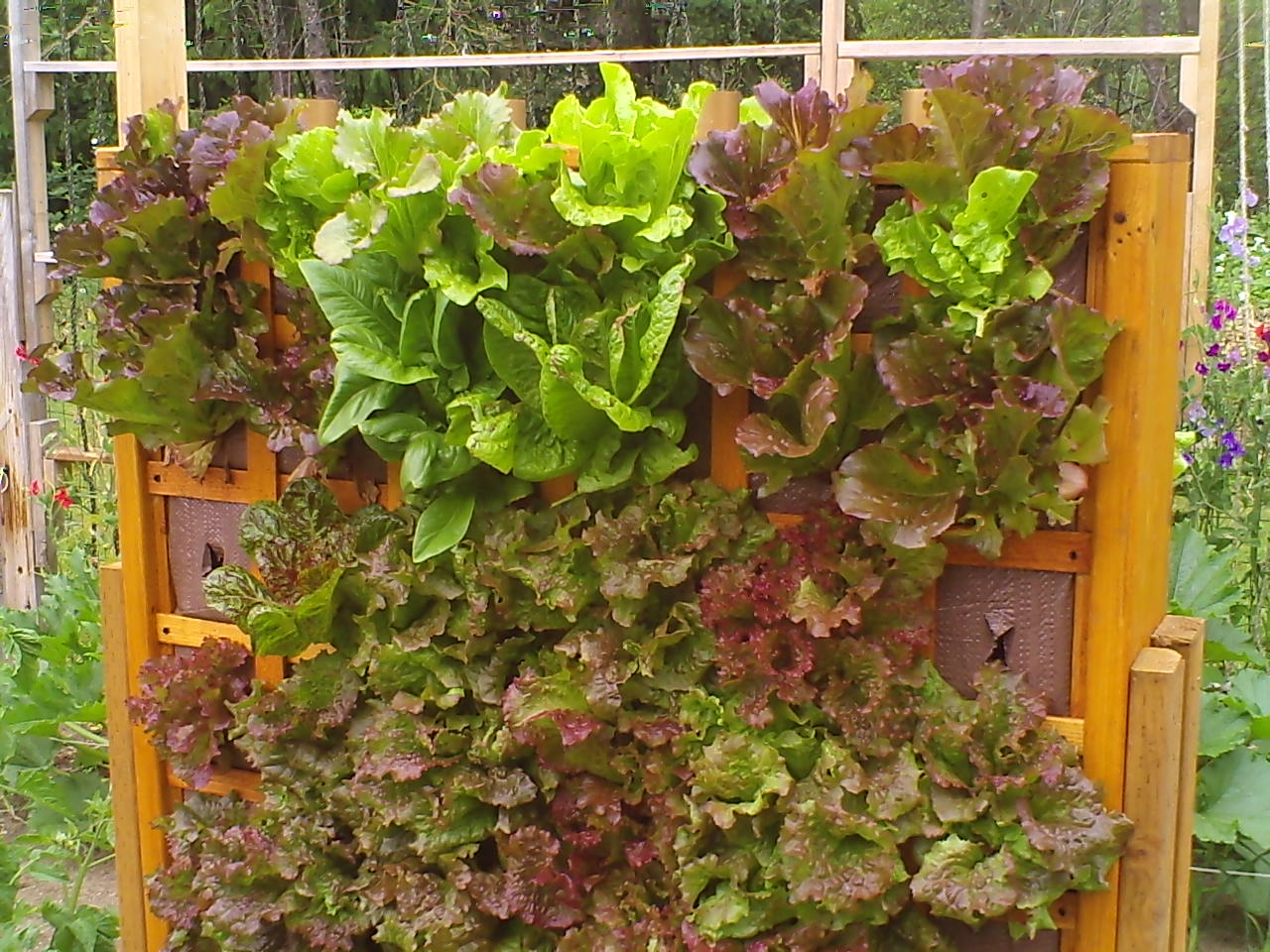 vertical wall of lettuce made from wood and tarp.