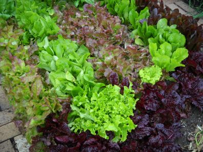 rows of different types of lettuce
