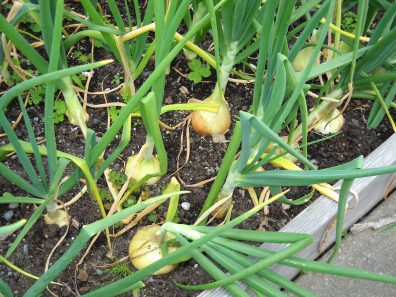 raised bed full of mature onions