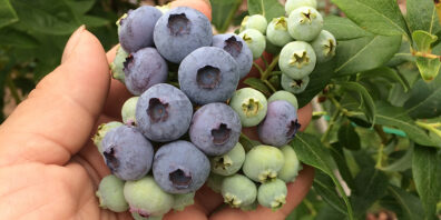 cluster of blueberries in palm of hand
