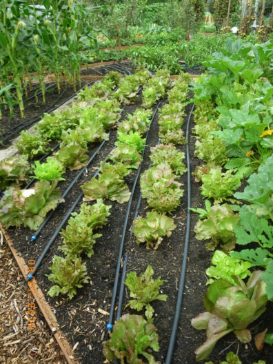 Rows of lettuce are divided by thin black tubing that make up a simple, but effective drip irrigation system for easy watering and water conservation.