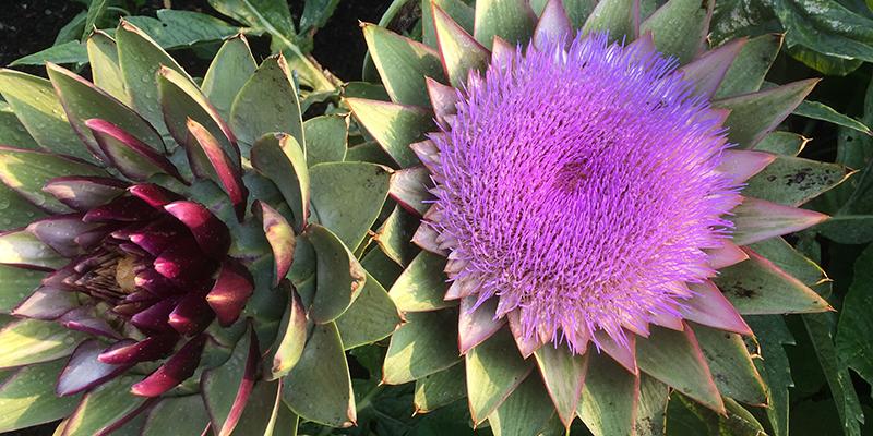 artichoke flower