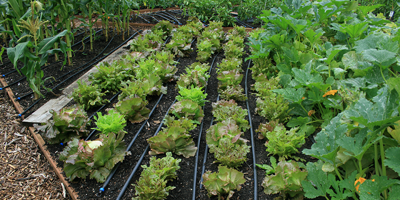 several raised beds with drip irrigation