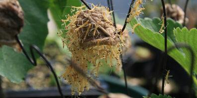 just-hatched praying mantis