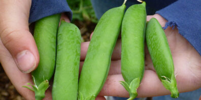 pea pods in hand