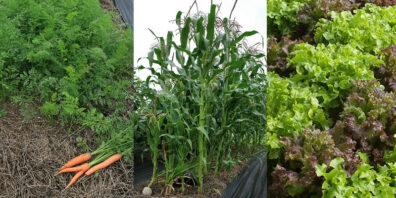 beds of carrots corn lettuce