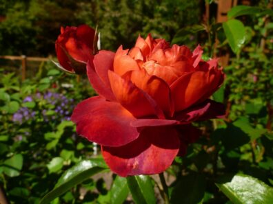 Ared and orange rose in full bloom, from the Jennings Park MG Demonstration Garden.