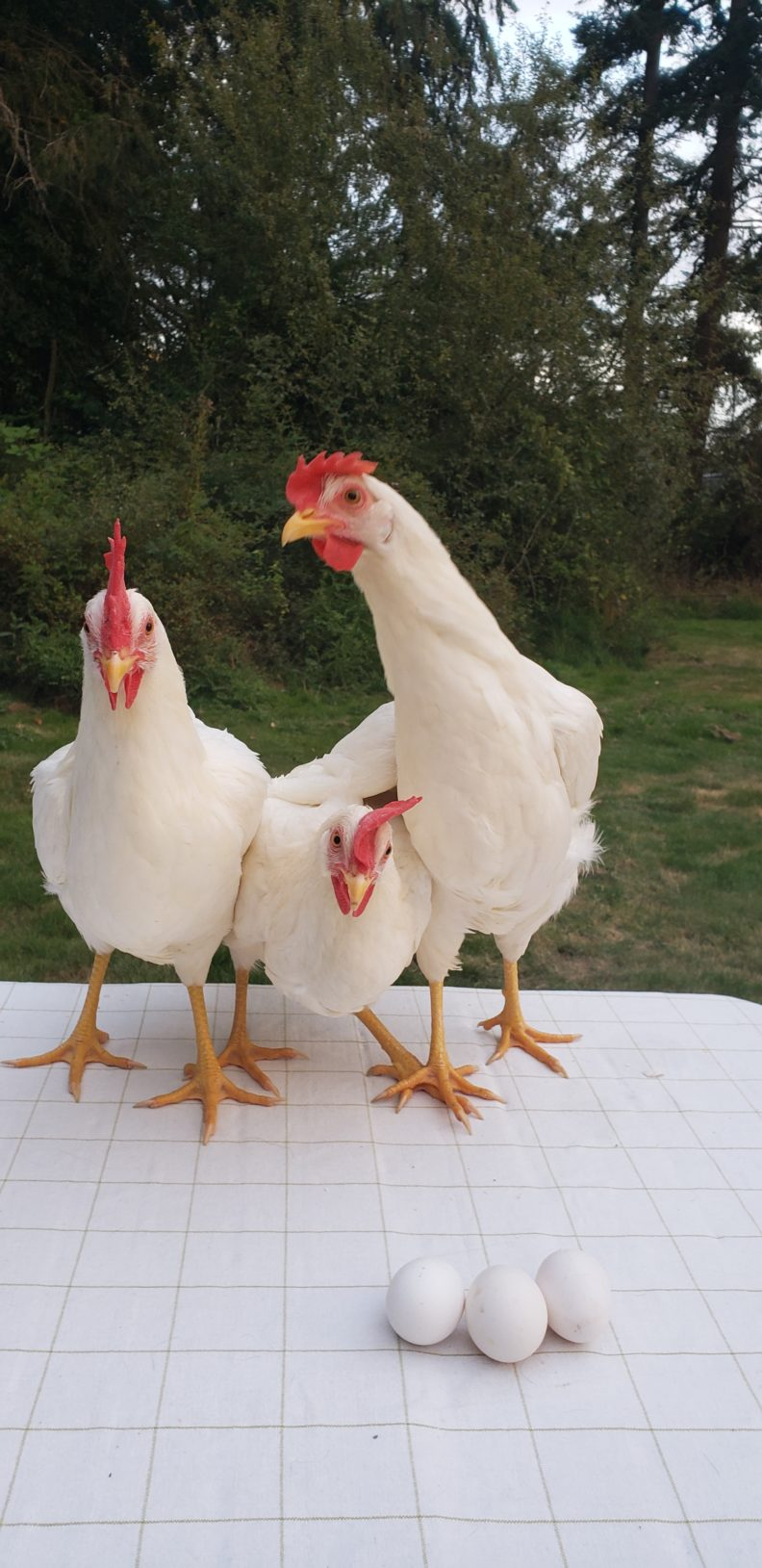 3 white pullet chickens.