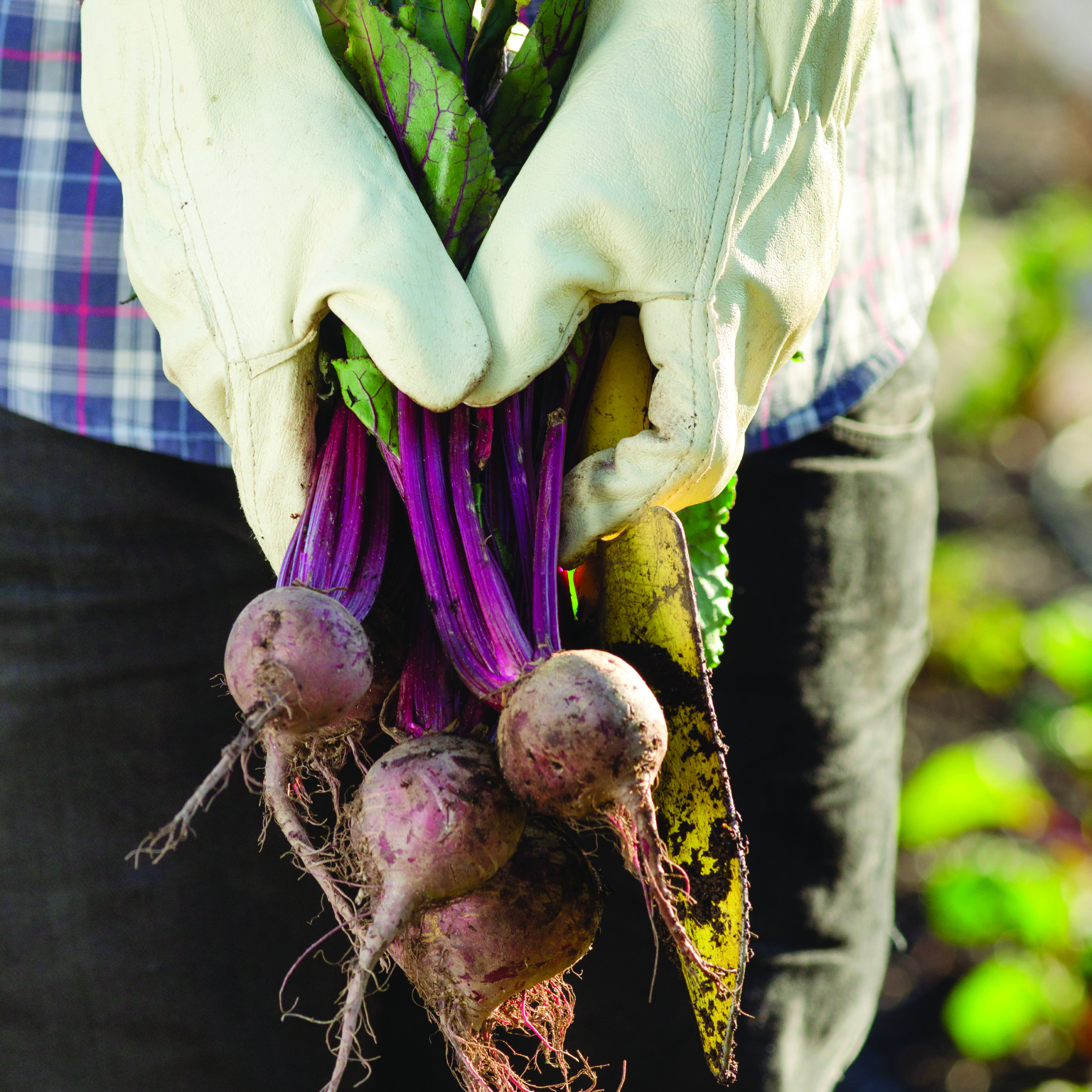 white gloved hands holding bunch of red beets in front of body below waist