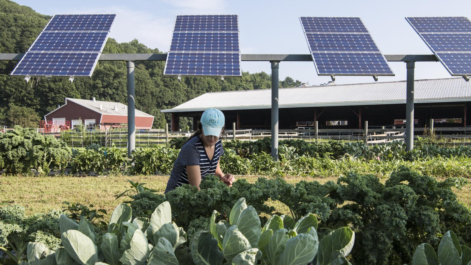 woman squatting tending to crops. solar array in background