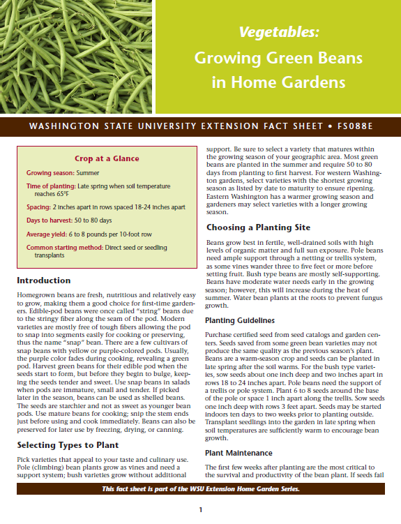 Growing green beans in home gardens