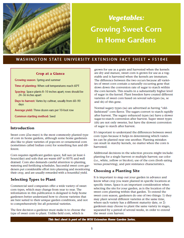 Growing sweet corn in home gardens