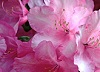 Pink rhododendron in bloom