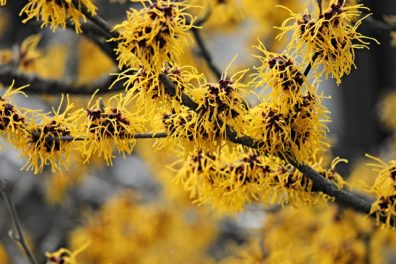 Witch hazel hamamelis intermedia.
