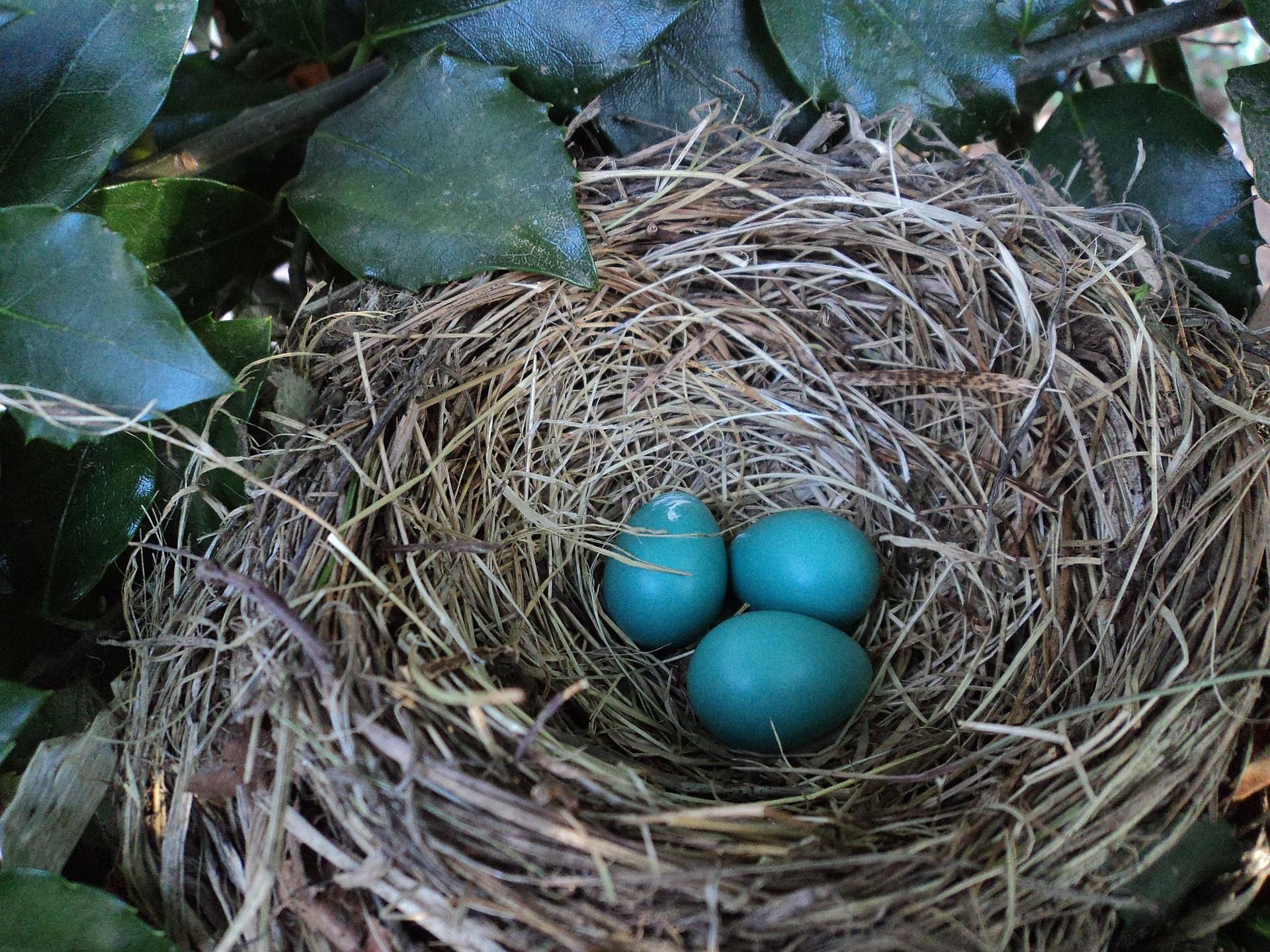 Bird's nest with three blue eggs