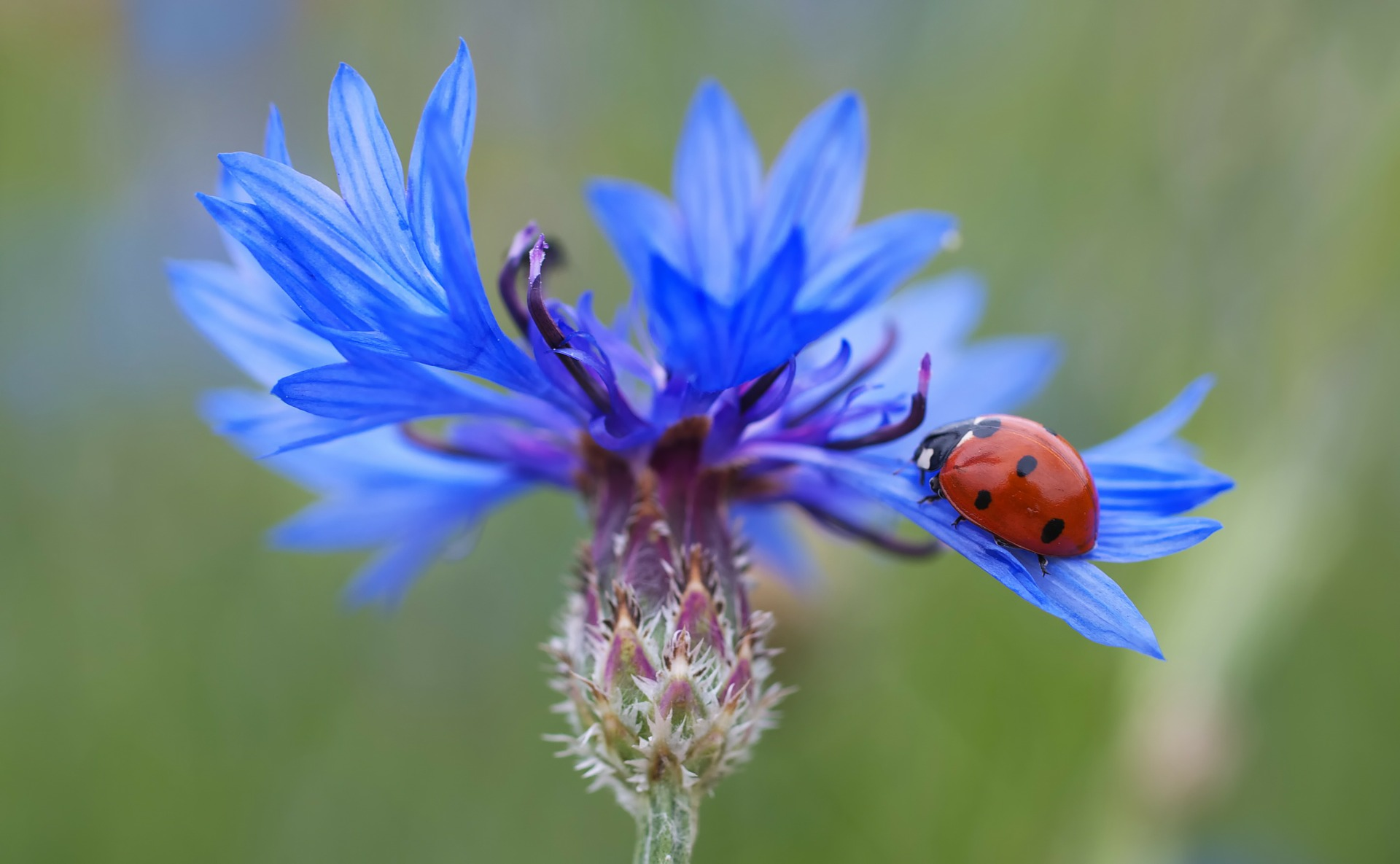 Blue flower with lady bug