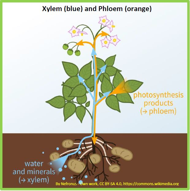 Plants have plumbing - xylem and phloem