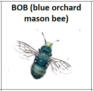 The marvelous blue orchard mason bee