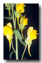 dtoadflaxflower
