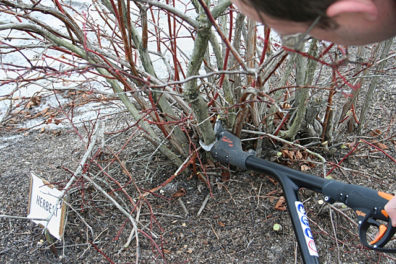 Pruning fall blueberry bush