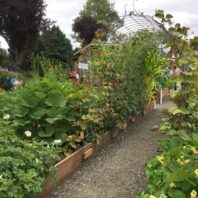 Raised beds with potatoes and beans growing on hog wire in demonstration garden