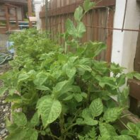 Potatoes & peas (phacelia also shown – lacy-leafed plant) companion planted in a container