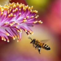 bee-in-flight