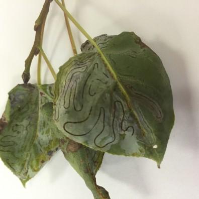 Aspen leaf with Leafminer damage