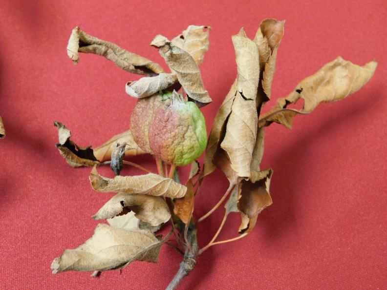 Fire blight example, gala apple tree. Courtesy Adena Sabins MGPC