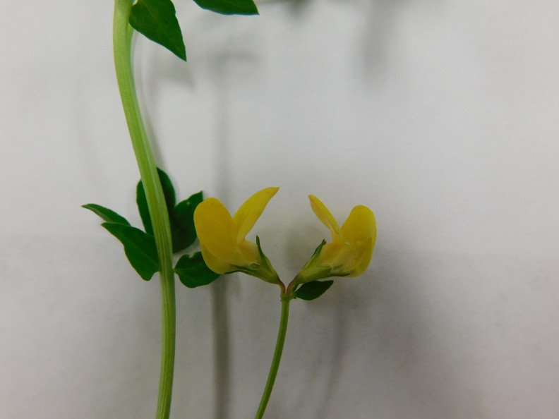 Thermopsis rhombifolia - photo. Courtesy Adena Sabins MGPC