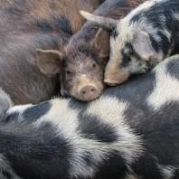pigs-1934271_960_720