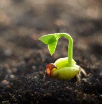 A seed sprounting in soil
