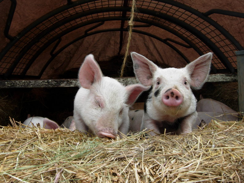 Photo of two piglets